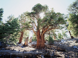 California, Sierra Nevada, Inyo Nf, Old Growth Juniper Tree, Juniperus Photographic Print by Christopher Talbot Frank