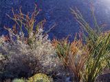 California, Anza Borrego Desert Sp, Backlit Ocotillos and Brittlebush Photographic Print by Christopher Talbot Frank