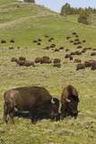 Bison Herd, Yellowstone National Park Photographic Print by Ken Archer
