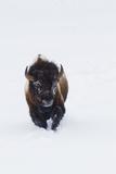 Bison Bull Photographic Print by Ken Archer
