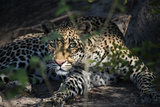 Leopard Face Peeking Out of Bush Close Up Photographic Print by Sheila Haddad