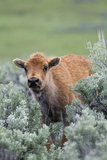 Bison Calf, Yellowstone National Park Photographic Print by Ken Archer