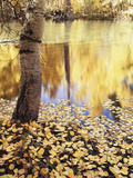 California, Sierra Nevada, Inyo Nf, the Fall Colors Aspen Leaves Photographic Print by Christopher Talbot Frank