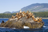 Canada, Pacific Rim National Park Reserve, West Coast Trail, Steller Sea Lions Photographic Print by Jamie And Judy Wild