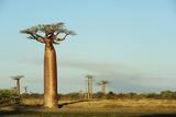 Anthony Asael - Madagascar, Morondava, Baobab Alley, View on Adansonia Grandidieri Fotografická reprodukce
