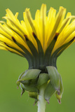 Canada, British Columbia, Vancouver Island. Dandelion Photographic Print by Kevin Oke