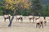 Coyote and Herd of Elk Photographic Print by Ken Archer