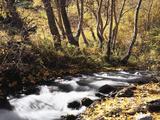 Christopher Talbot Frank - California, Sierra Nevada, Inyo Nf, Cottonwood Trees Along Mcgee Creek Fotografická reprodukce