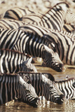Namibia, Etosha National Park, Burchells Zebras Drinking from River Photographic Print by Stuart Westmorland