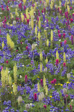 Alpine Wildflowers, Mount Rainier Photographic Print by Ken Archer