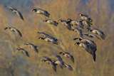 Lesser Canada Geese Flock Alighting Photographic Print by Ken Archer