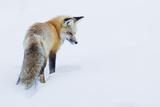 Red Fox in Winter Fotografisk tryk af Ken Archer