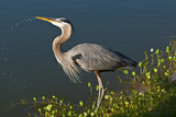 Florida, Venice, Great Blue Heron Drinking Water Streaming from Bill Photographic Print by Bernard Friel