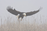 Bald Eagle, Hunting in Marsh Photographic Print by Ken Archer