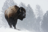 Bison Bull, Winter Storm Photographic Print by Ken Archer