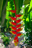 Heliconia Rostrata, Grenada, West Indies Reproduction photographique par Susan Degginger