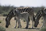 Namibia, Etosha National Park, Plain Zebra, Equus Burchellii, Grazing Photographic Print by Paul Souders