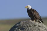 Bald Eagle on Boulder Photographic Print by Ken Archer