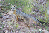 Jeff Davis County, Texas. Gray Fox Standing in Grass Photographic Print by Larry Ditto