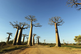 Madagascar, Morondava, Baobab Alley, View on Adansonia Grandidieri Photographic Print by Anthony Asael