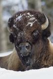 Bison Bull, Winter Fotografisk tryk af Ken Archer