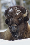 Bison Bull, Winter Photographic Print by Ken Archer