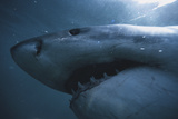 South Africa, Close Up of Great White Shark Photographic Print by Stuart Westmorland
