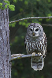 Barred Owl, Hunting at Dusk Photographic Print by Ken Archer