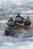 Harlequin Drakes Resting in Fresh Water Rapids Photographic Print by Ken Archer