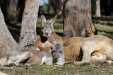 Australia, Adelaide. Cleland Wildlife Park. Red Kangaroos Photographic Print by Cindy Miller Hopkins