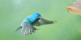 North America, Florida, Immokalee, Indigo Bunting, Flying to Feeder Photographic Print by Bernard Friel