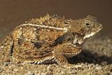 Regal Horned Lizard Reacts Defensively. Sonoran Desert, Tucson, Az, Us Reproduction photographique par Thomas Wiewandt