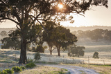 Australia, Clare Valley, Clare, Gum Trees by Brooks Lookout, Dawn Photographic Print by Walter Bibikow