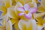 USA, Hawaii, Oahu, Plumeria Flowers in Bloom Photographic Print by Terry Eggers