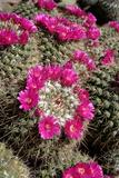 Mammillaria Standleyi, Stanleys Pincushion Cactus Reproduction photographique par Susan Degginger