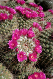 Mammillaria Standleyi, Stanleys Pincushion Cactus Photographic Print by Susan Degginger