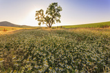 Oak Tree Near Field of Oxeye Daisies and Wheat, Palouse, Washington Photographic Print by Stuart Westmorland