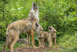 Minnesota, Minnesota Wildlife Connection. Coyote and Pups Howling Photographic Print by Rona Schwarz