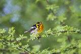 South Padre Island, Texas. Blackburnian Warbler Feeding Photographic Print by Larry Ditto