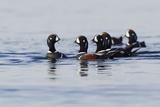 Harlequin Ducks Photographic Print by Ken Archer