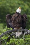 Bald Eagle, Rain Shower Photographic Print by Ken Archer