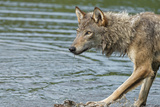 Minnesota, Sandstone, Minnesota Wildlife Connection. Grey Wolf on Log Photographic Print by Rona Schwarz