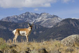 Pronghorn Antelope Buck, Electric Peak Photographic Print by Ken Archer