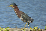 North America, USA, Florida, Pahokee, Green Heron, Walking on Log Photographic Print by Bernard Friel