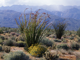 California, Anza Borrego Desert Sp, Brittlebush and Blooming Ocotillo Photographic Print by Christopher Talbot Frank