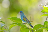 Florida, Immokalee, Indigo Bunting Perched in Jasmine Bush Photographic Print by Bernard Friel