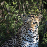 Leopard Portrait, Close Up Photographic Print by Sheila Haddad