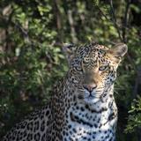 Leopard Portrait, Close Up Photographic Print by Sheila Haddad
