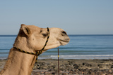 Australia, Cable Beach. Camel Used for Sight Seeing Along Cable Beach Photographic Print by Cindy Miller Hopkins