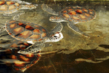 Tanzania, Zanzibar, Nungwi, Mnarani Aquarium, Swimming Turtles Photographic Print by Anthony Asael